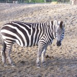 The not so black and white story of why the zebra got its stripes