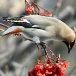 A Waxwing winter you say?
