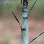 Bamboo systematics: less swaying in the wind