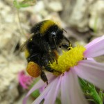 Bees and biofuels….what's the buzz?