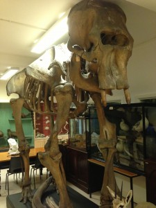 Prince Tom at the TCD Zoology Museum