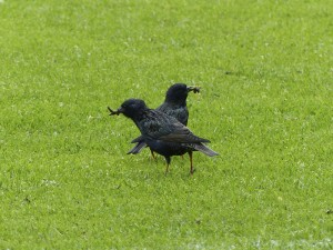 Starlings with grubs