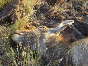 Step 5 - bait the area (this sickly Waterbuck had died)