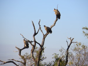Step 7 - play the waiting game (perching African White-backed Vultures)