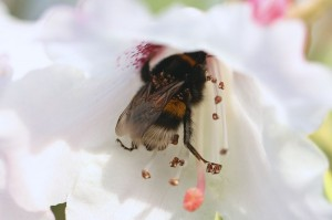 Bumble-bee_on_Rhododendron