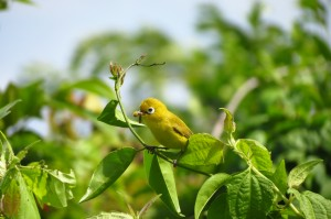 An adult Lemon-bellied White-eye returning with food for its chicks