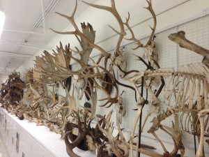 Antler collection at Harvard's Museum of Comparative Zoology