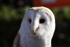 Whooo's a pretty boy then? Barn Owl