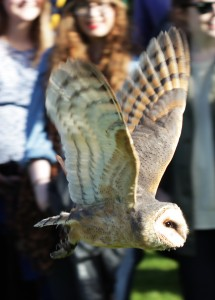 Beautiful Scandinavian barn owl