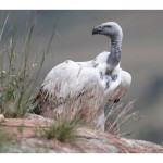 Cape Vulture Conservation