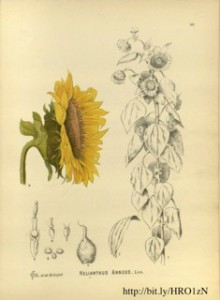 Fig 2 - scientific sunflowers