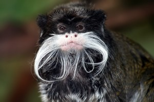 Tamarin_portrait_2_edit3