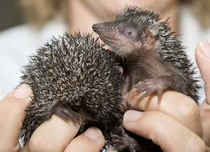 Small Madagascar Hedgehog Tenrec