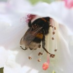 Bumblebees are not deterred by ecologically relevant concentrations of nectar toxins