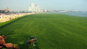 Algal bloom in Qingdao. Picture from the Guardian