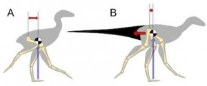 Living tail-less dinosaurs (A) such as chickens have a centre of mass (black/white) located far forwards in the body. To cope with this they keep their feet forwards by bending their hips and swinging the leg from the knee, which is very unusual. Extinct dinosaurs with large tails (B) would have a more rearward centre of mass. This means they may have had stood straighter and swung their legs from the hip, like most other animals