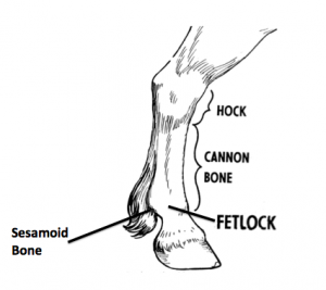 Figure 1: Labeled diagram of an equine lower limb showing the fetlock joint and sesmoid bones.