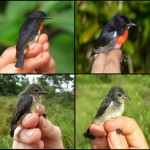 The Wakatobi Flowerpecker: the reclassification of a bird species and why it matters