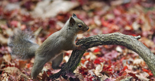 1280px-Japanese_Squirrel_edited_version