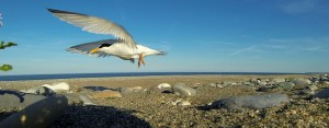 Little Tern taking off from nest © Andrew Power and Peter Cutler