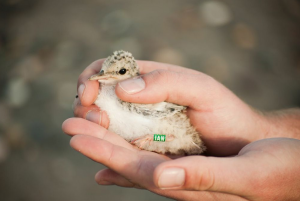 IAN the Little Tern chick © Kristina Abariute and Andrew Power.