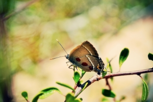 A marked Sinai Hairstreak