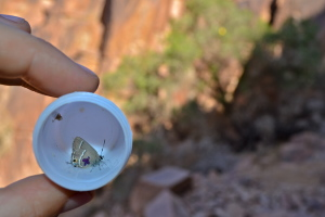 A marked Sinai Hairstreak with a Sinai Buckthorn in the background