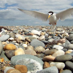 Tern the Tide