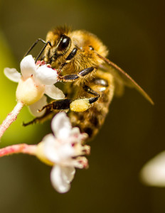 Honey_bee_on_flower_with_pollen_collected_on_rear_leg