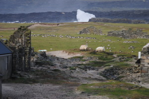 Barnacle Geese grazing alongside sheep among the old houses. © David Cabot.