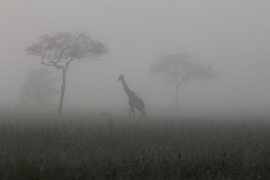 Giraffe in the mist. Photo Credit Anne Hilborn