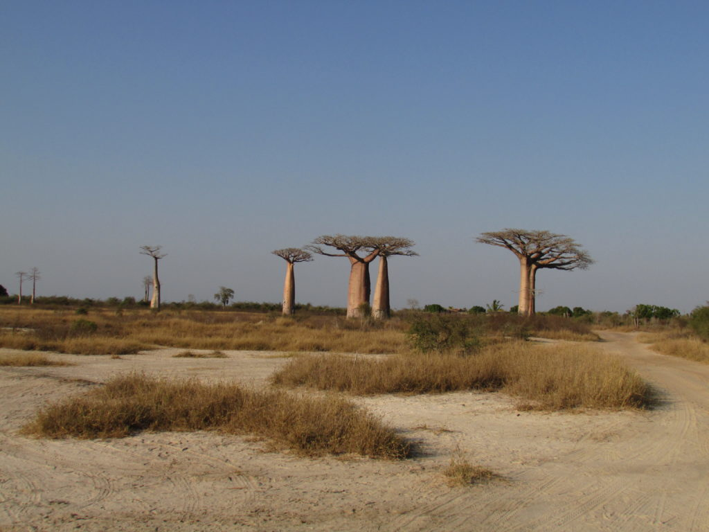 The Avenue of Baobabs in western Madagascar