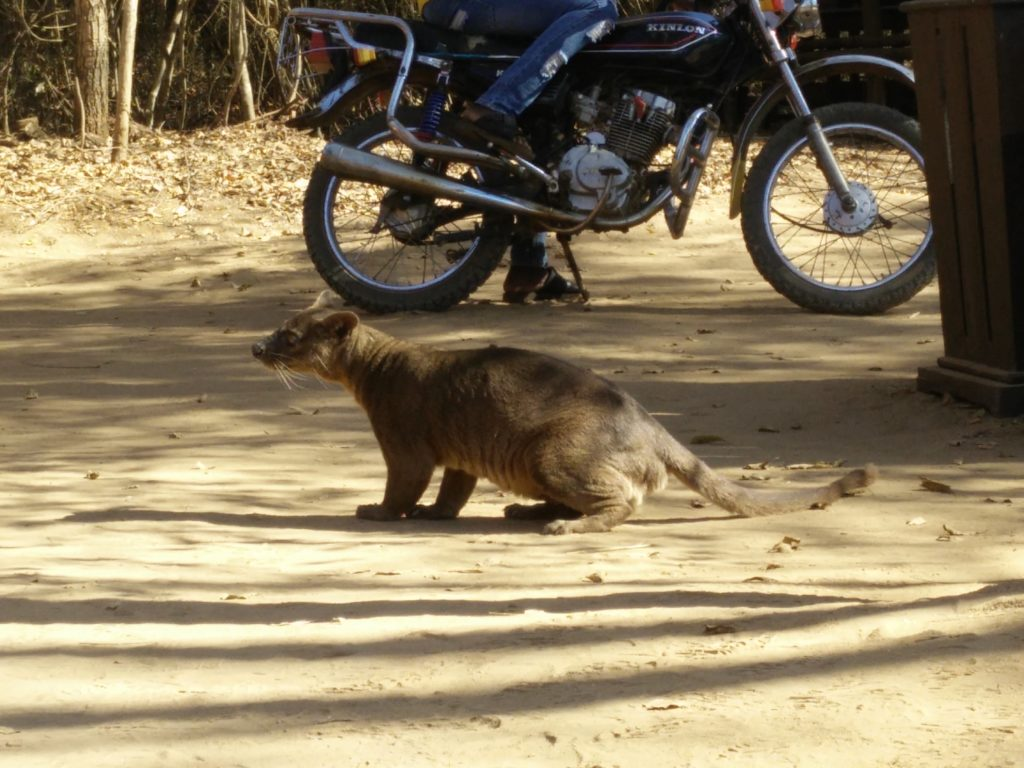The beguiling fossa, one of Madagascar's endemic varnivores.